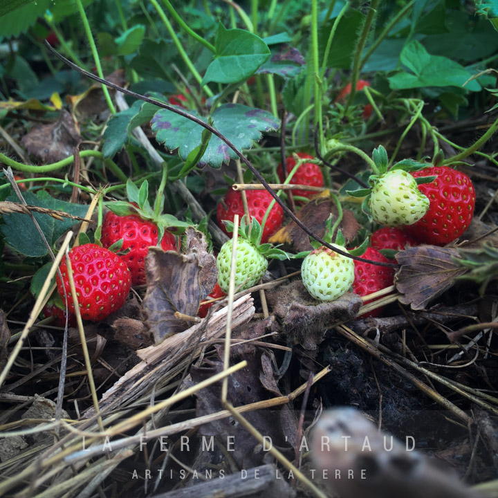 Panier_de_fraise